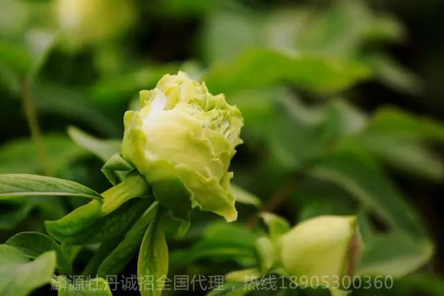 牡丹Paeonia suffruticosa